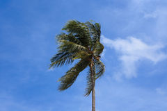 Wind blows coconut tree Stock Photo