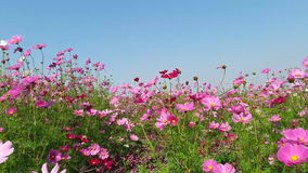 Wind blows  Cosmos flower stock video
