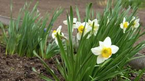 The wind blows on daffodils. A strong wind blows on the daffodils growing in the backyard stock video footage