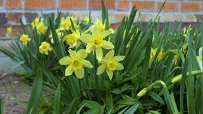The wind blows on daffodils. A strong wind blows on the daffodils growing in the backyard stock footage