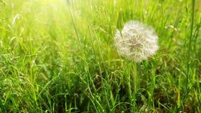 The wind blows dandelion seeds. Dandelion on the wind. Macro shot of dandelion in summer field stock video footage