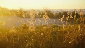 The wind blows on the grass at sunrise stock footage