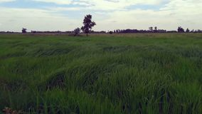 The wind blows rice leaves in beautiful rice fields. The wind blows the rice leaves in beautiful rice fields stock footage