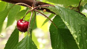 Wind blows on a ripe cherry in drops of water, hanging on a tree branch. The branches swaying in the wind stock video