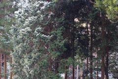 Wind blows snow from cedar trees. Sudden wind blows snow off cedar trees in a forest Royalty Free Stock Photos