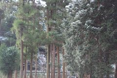 Wind blows snow from cedar trees. Sudden wind blows snow off cedar trees in a forest Stock Photos