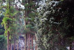 Wind blows snow from cedar trees. Sudden wind blows snow off cedar trees in a forest Stock Photography