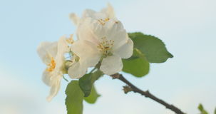 Wind blows to Apple blossom after rain in sunset time. Wind blows to Apple blossom after rain stock footage