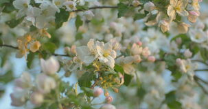 Wind blows to Apple blossom after rain in sunset time. Wind blows to Apple blossom after rain stock video
