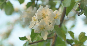 Wind blows to Apple blossom after rain in sunset time. Wind blows to Apple blossom after rain stock video footage