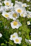 Wind-Blume Stockfotos