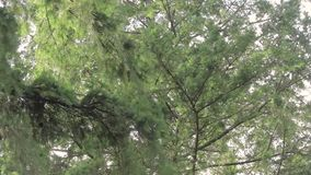 Wind through branches. Wind blowing through the branches of pine trees against an overcast sky stock video footage