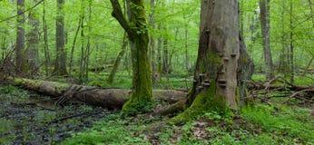 Wind broken spruce in springtime Stock Image