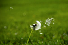 Wind carries dandelion seeds Royalty Free Stock Image