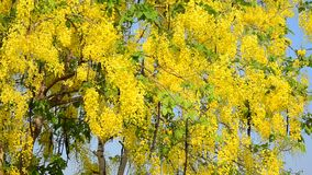 Wind with Cassia fistula known as the golden shower tree stock footage
