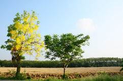 Wind with Cassia fistula known as the golden shower tree Royalty Free Stock Images