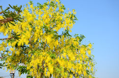 Wind with Cassia fistula known as the golden shower tree Royalty Free Stock Photo
