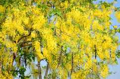 Wind with Cassia fistula known as the golden shower tree Stock Photography