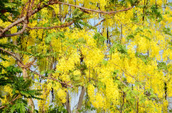 Wind with Cassia fistula known as the golden shower tree Stock Photos