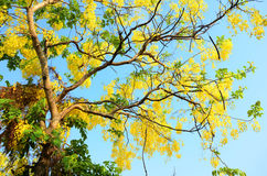 Wind with Cassia fistula known as the golden shower tree Royalty Free Stock Image