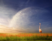 Wind Of Change. Beautiful sunset with flamingo on a red poppies meadow and planet Stock Photos