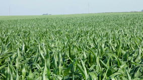 Wind and corn field stock video footage