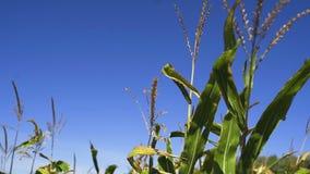 Wind on Corn field. 4k stock video footage