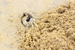 Wind crab or horned ghost crab Royalty Free Stock Image