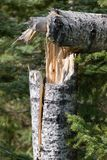 Wind Damage. Broken tree Royalty Free Stock Photo