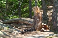 Broken tree. Wind damaged broken tree in forest Stock Images