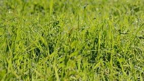 Wind, der auf Gras durchbrennt stock video footage