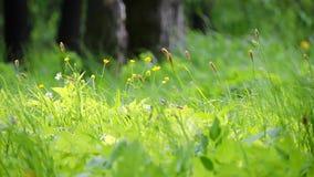 Wind, der auf hohem grünem frischem Gras und Blumen in der Wiese durchbrennt stock video footage