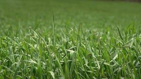 Wind, der den grünes Gras-Abschluss hochschiebt stock video
