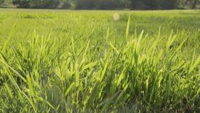 Wind in der Graskamera, die sich vorwärts bewegt stock video