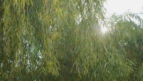 Wind die op een een de herfstwilg en zon blazen die over het op een mooie warme dag glanzen - stock footage