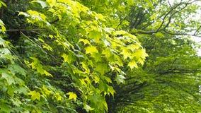 Wind die trillende bladeren blazen De takken van bomen worden gehoord in de wind stock videobeelden