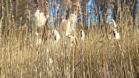 Wind dispersal of cattail seeds stock footage