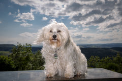Wind in dog hair Royalty Free Stock Images
