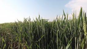 Wind durch die WeizenZeitspanne stock video