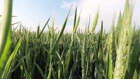 Wind durch die WeizenZeitspanne stock video footage