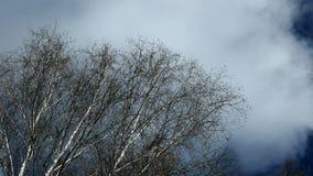 Wind en berk stock videobeelden