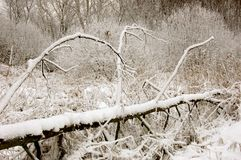 Wind-fallen tree in winter Stock Photography