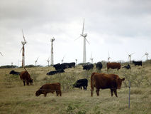 Wind farm and cattle. Wind power and cattle Big-island Hawaii beef Stock Photos