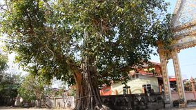 Wind with Ficus religiosa or sacred fig Tree in Morning stock video