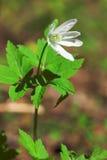 Wind-flower Imágenes de archivo libres de regalías