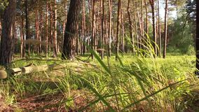 Wind in the forest. Video, nature silence place, fresh wild grass, pine trees stock video