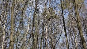 Wind in the forest. View on tree tops of trees in spring from the ground stock footage