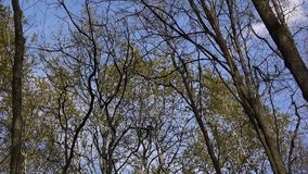 Wind in the forest. View on tree tops of trees in spring from the ground stock video footage