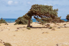 From the wind formed Juniper at the Lafrakas beach. Gavdos, Greece Stock Images
