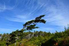 Wind formed tree. A grown at an angle due to the constant costal winds on West Vancouver Island Royalty Free Stock Photo